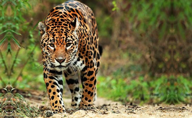 jaguar guanacaste
