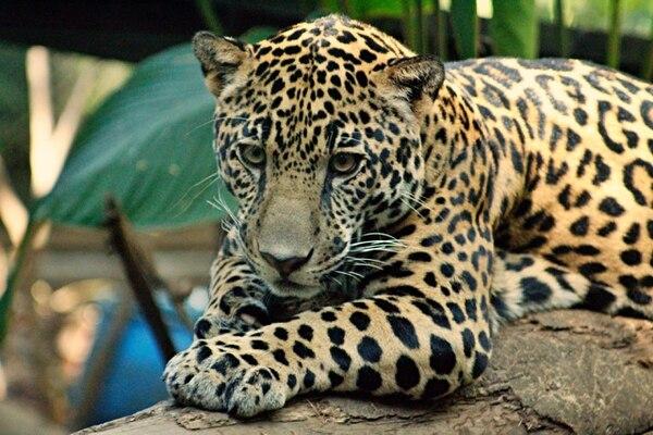 jaguar nosara