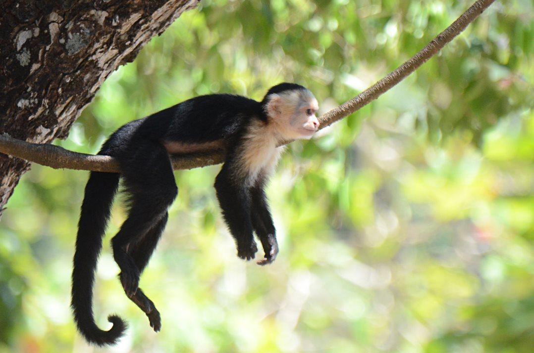 mono cariblanco nosara