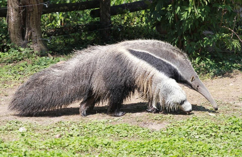 oso hormiguero nosara