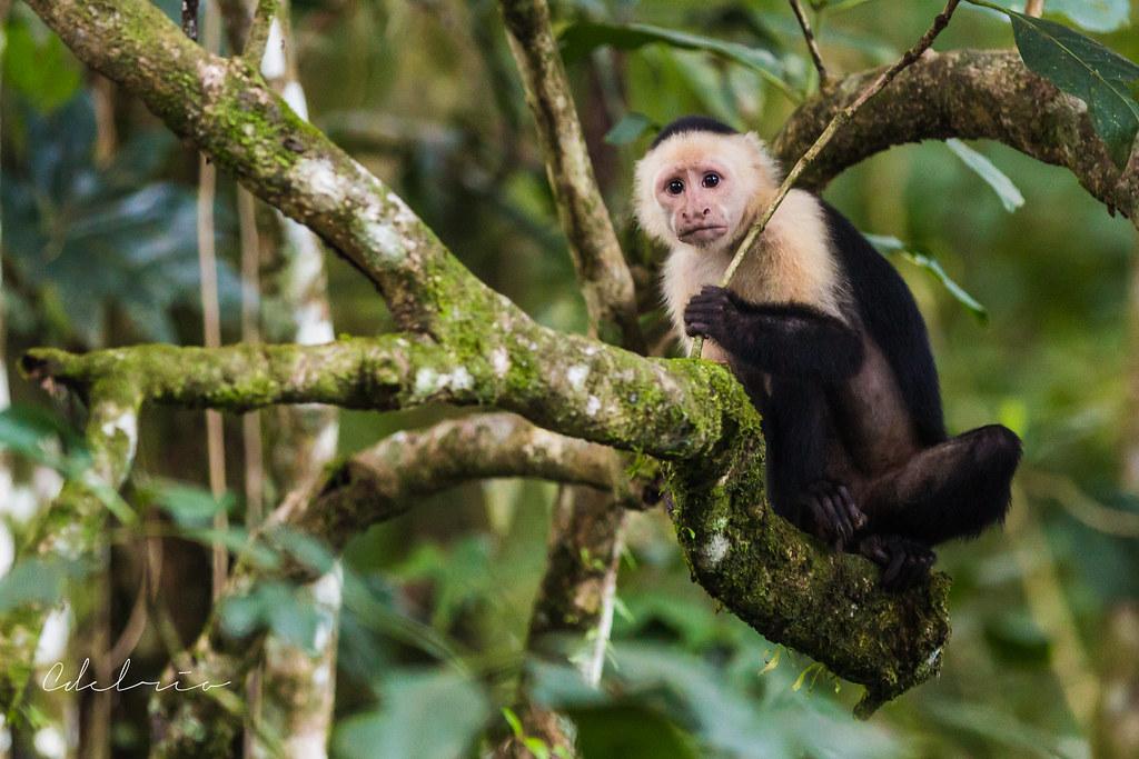 white face monkey nosara