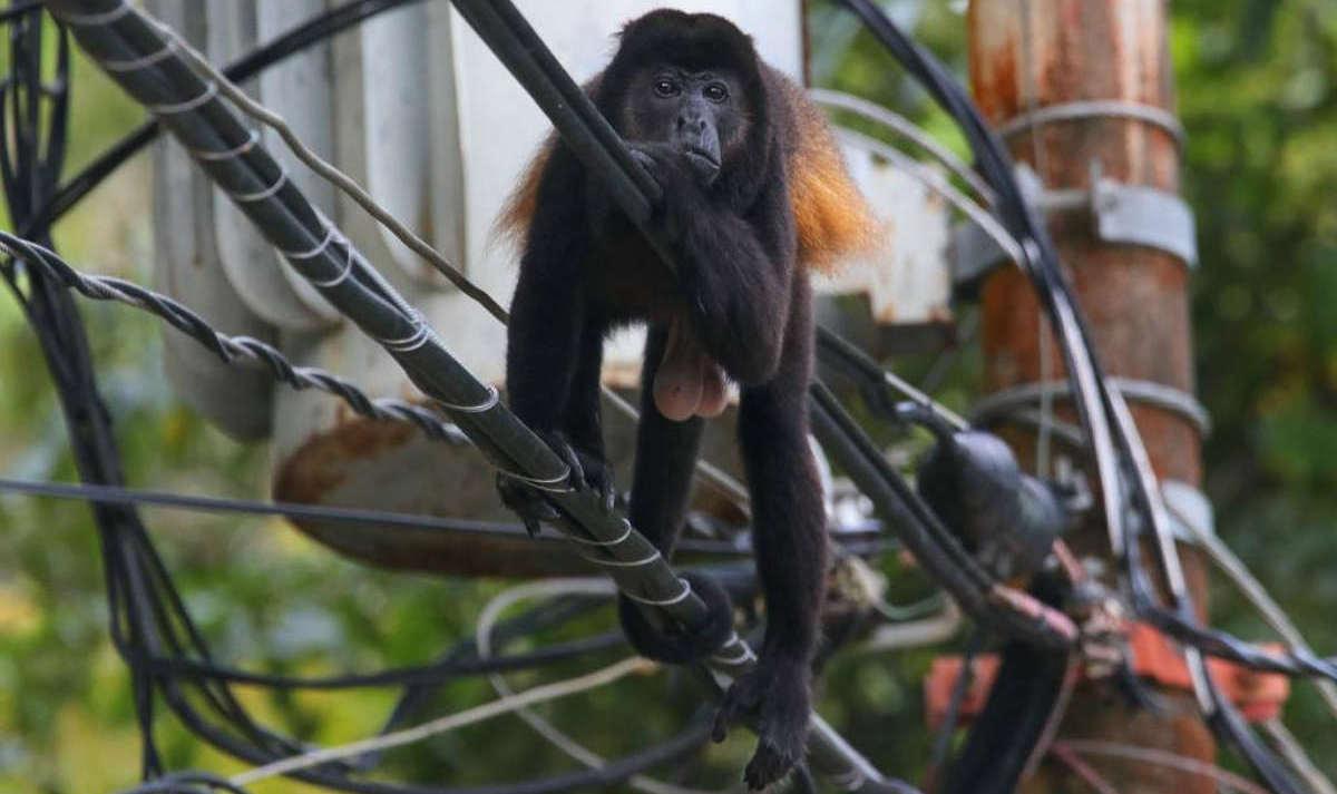 mono aullador nosara