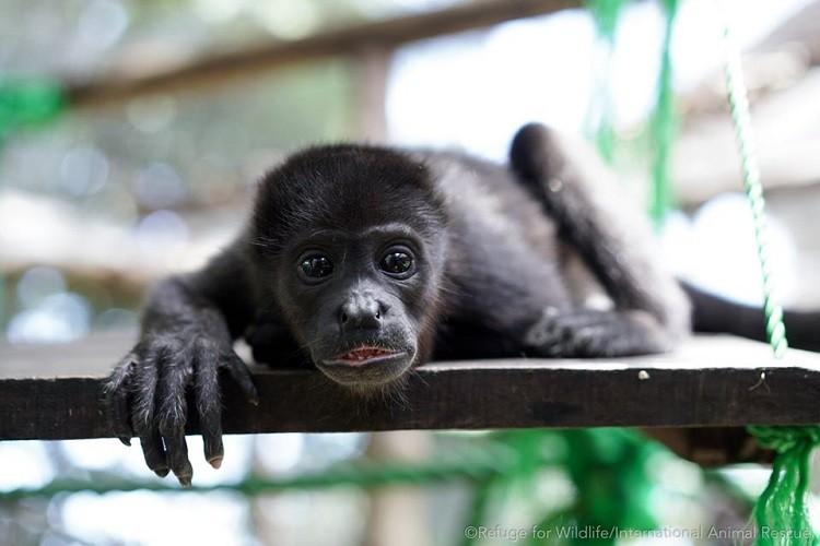howler monkey nosara