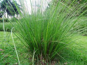 nosara plants